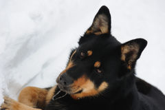 Relaxed dog in the snow Royalty Free Stock Image