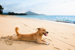 Relaxed dog on tropical beach Stock Photo