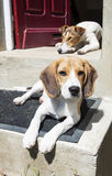 Relaxed dogs. Two young dogs relaxing in front of the doorstep royalty free stock images