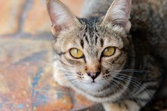 Portrait of brown-eyed cat royalty free stock photo