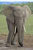 Relaxed Elephant Royalty Free Stock Photography