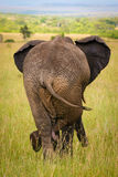 Relaxed elephant waiting for a friends, Masai Mara Royalty Free Stock Photo