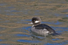 Relaxed female Bufflehead, Bucephala albeola Royalty Free Stock Photos