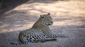 Relaxed female leopard resting in her natural environment. Relaxed female leopard resting in cool riverbed in her natural environment stock images