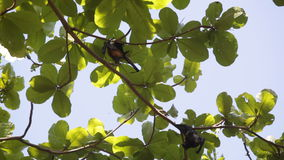 Relaxed flying foxes Royalty Free Stock Photography