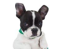 Relaxed french bulldog royalty free stock photos