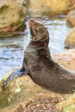 A relaxed fur seal basking on a rock stock images
