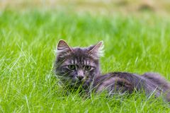 Small gray kitten in grass Royalty Free Stock Image