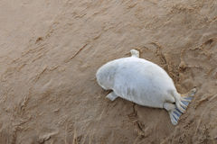 Relaxed grey seal pup Royalty Free Stock Image