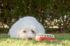 Relaxed havanese dog is watching a symbolic figurine car Stock Photography