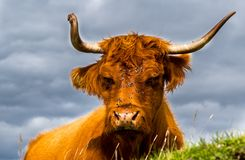 Relaxed Highland Cattle With Flies On Its Sunlit Head In Scotland stock images