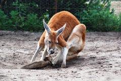 Relaxed Kangaroo Royalty Free Stock Photo