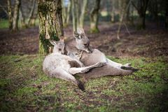A relaxed kangaroo sitting on grass in a park. Cute Kangaroos sitting close in a park, mother and baby tenderness Stock Photos