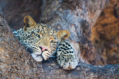 Relaxed leopard Royalty Free Stock Image