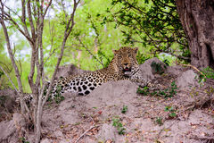Relaxed Leopard stock image