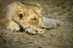 Relaxed Lion Cub. A lion cub relaxes after a big meal in Zambia's South Luangwa Royalty Free Stock Photography