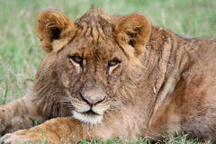Relaxed lion. Portrait of a young lion lying down. Ol Pejeta Conservancy, Kenya Stock Image