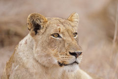 Relaxed lioness, South Africa Royalty Free Stock Images