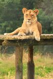 Lioness on top of a wooden climbing frame royalty free stock photo