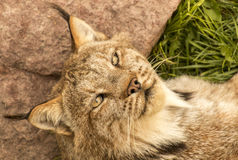 Relaxed lynx Royalty Free Stock Images