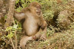 Relaxed Male Tibetan Macaque in Bushes, Front View Royalty Free Stock Photos