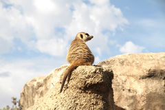 Relaxed Meerkat. A relaxed Meerkat enjoying the view from a rock stock image