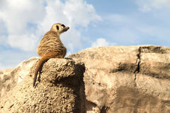Relaxed Meerkat. A relaxed Meerkat enjoying the view from a rock stock photos