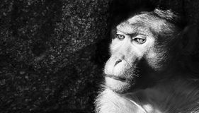 Relaxed Monkey B&W Royalty Free Stock Image
