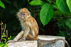 Relaxed monkey Royalty Free Stock Images