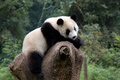 Relaxed panda Stock Image