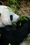 Relaxed Panda bear eats with green leaves in mouth Royalty Free Stock Images