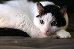 Relaxed pet cat posing. Cozy comfortable calm pet cat closeup posing relaxed but alert and watchful. Black and white cat feline with green eyes royalty free stock photography
