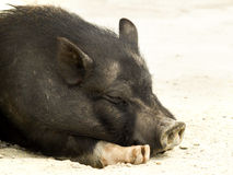Relaxed pig Royalty Free Stock Images