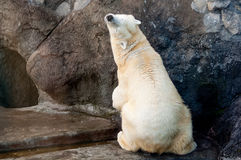 Relaxed polar bear. Beautiful playful polar bear sitting with its back to camera Stock Photo