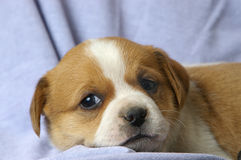 Relaxed puppy Royalty Free Stock Photography