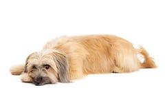 Relaxed Pyrenean Shepherd Dog Laying Royalty Free Stock Photos