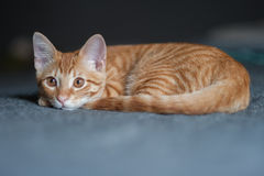 Relaxed and ready for action at same time. Furry Tabby kitten lying with chin down on bed Stock Photo