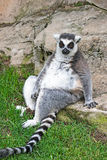 Relaxed ring tailed lemur. In Bioparc Valencia Stock Photos
