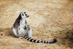 Relaxed ring-tailed lemur. Closeup view Stock Images