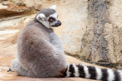 Relaxed Ring-tailed Lemur Sitting Back to Camera on Rock Stock Photo