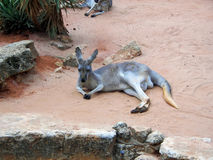 Relaxed Roo just laying around tired Stock Photos