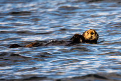 Relaxed sea Otter Stock Photos