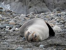Relaxed seal sleeping on his back royalty free stock photos