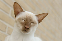 Relaxed siamese cinnamon point cat Stock Images