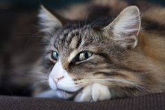 Relaxed and smiling norwegian forest cat stock image