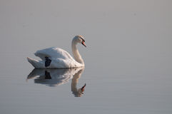 Relaxed swan reflection on the lake's surface Royalty Free Stock Images
