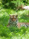 Relaxed tiger Royalty Free Stock Images