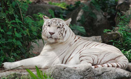 Relaxed Tiger. A white bengal tiger lies in the shade, shielding itself from the afternoon sun stock photography