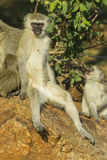 Relaxed vervet monkey dropping food out of its mouth Royalty Free Stock Image