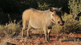 Relaxed warthog Royalty Free Stock Photo